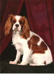 Something Else Dune, chien Cavalier King Charles Spaniel