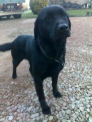Capi, chien Labrador Retriever