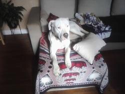 Djanka, chien Dogue argentin