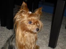 Tina, chien Yorkshire Terrier