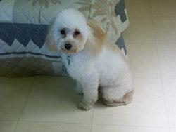 Timy, chien Caniche