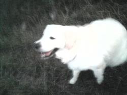 Dolly, chien Golden Retriever