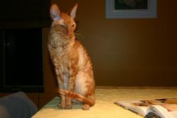 Frisson, chat Cornish Rex