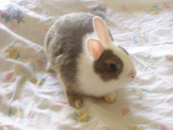 Prince, rongeur Lapin