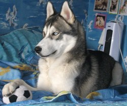 Eclair, chien Husky sibérien
