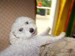 Bob, chien Bichon maltais