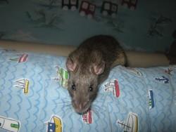 Riki, rongeur Rat