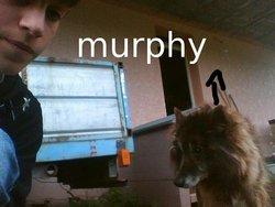Murphy, chien Berger belge