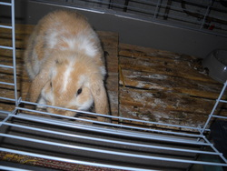 Tanie, rongeur Lapin