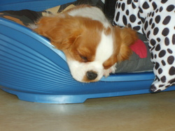 Squeeb, chien Cavalier King Charles Spaniel