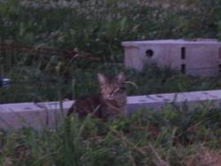 Nina , chat Gouttière