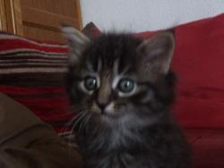 Goupille , chat Gouttière