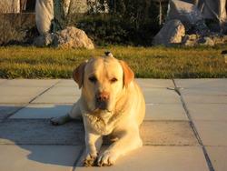 Coda, chien Labrador Retriever