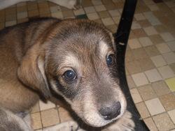 Prince, chien Husky sibérien