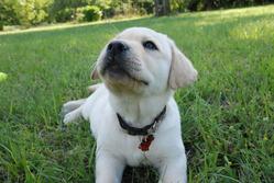 Tam Tam, chien Labrador Retriever