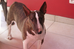 Funny, chien Bull Terrier