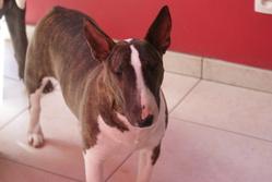 Funny, chien Bull Terrier