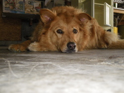 Sibelle, chien Golden Retriever