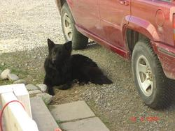 Onyx, chien Berger allemand