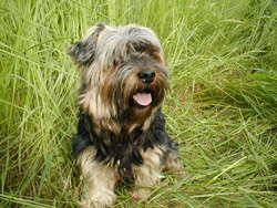 Tiny, chien Silky Terrier