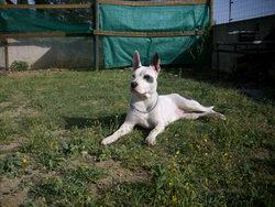 Ciara, chien American Staffordshire Terrier