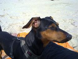 Lillycop's, chien Pinscher
