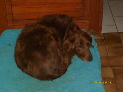 Ulysse, chien Épagneul français