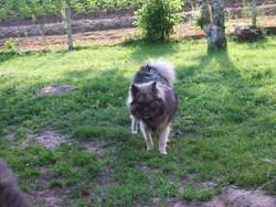 Toundra, chien Spitz allemand