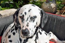 Cristall, chien Dalmatien