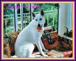Taiga, chien Berger blanc suisse