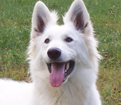 Dschubba, chien Berger blanc suisse