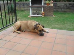 Kira, chien American Staffordshire Terrier