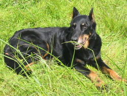 Louisiane, chien Beauceron
