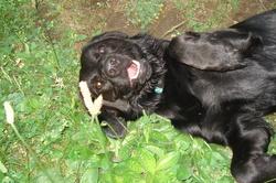 Ether, chien Labrador Retriever
