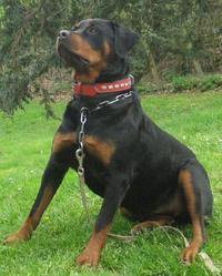 Bounty, chien Rottweiler