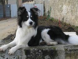 Bidou, chien Border Collie