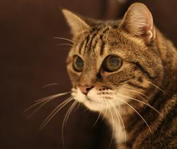 Le Chat, chat Européen