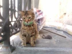 Litchie, chat Européen