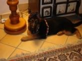 César, chien Berger allemand