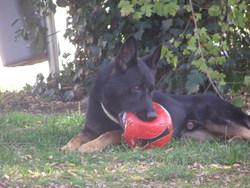 Casso Du Domaine De Chôdes, chien Berger allemand
