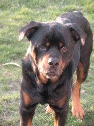 Khéops, chien Rottweiler