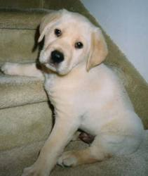 Joye, chien Labrador Retriever