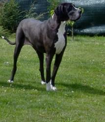 Caballe Du Domaine De L'Ostrevent, chien Dogue allemand