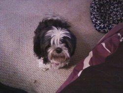 Zoe, chien Lhassa Apso