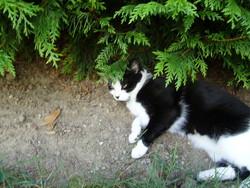 Papaye, chat Européen