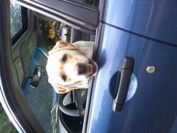 Cabotin, chien Labrador Retriever