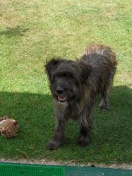 Cabriole, chien Griffon nivernais
