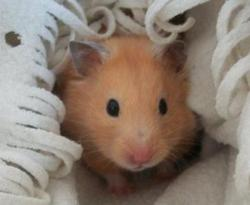 Cacahouette, rongeur Hamster