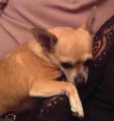 Cacahuète , chien Chihuahua