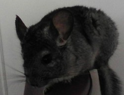 Cacahuete, rongeur Chinchilla